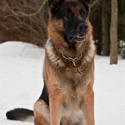 Schæferhund Atlas Flokkenlund