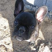 Fransk bulldog Osvald