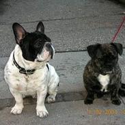Fransk bulldog Manfred