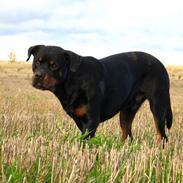 Rottweiler Bundy * 27-6-01 † 01.06.2015