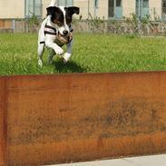 Jack russell terrier Hannibal