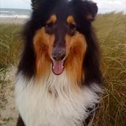 Collie langhåret Baloo