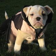 Olde english bulldogge Bullina´s Florentina