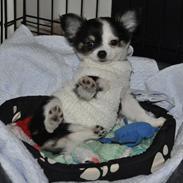 Chihuahua Madam Maggie :i <3