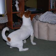 Jack russell terrier Russell