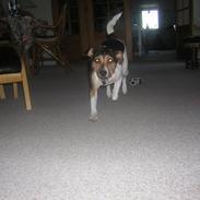 Dansk svensk gaardhund Molly