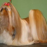 Shih tzu DKCH DCH VDHCH KLBCH INTCH Big Choice First Mei-Li