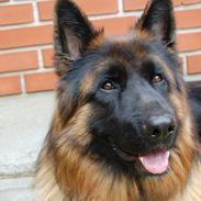 Schæferhund (langhåret)Egåen's Bosco<33