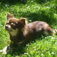 Chihuahua Barbie