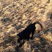 Blanding af racer Carlos himmelhund