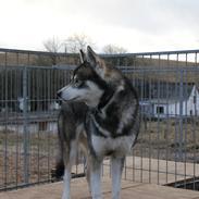 Siberian husky Haicko