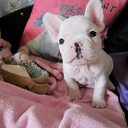 Fransk bulldog Hector