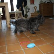 Cairn terrier Tøsen himmelhund
