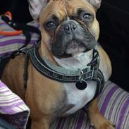 Fransk bulldog Willie