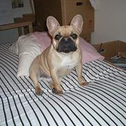 Fransk bulldog silke