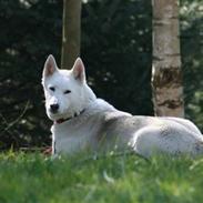 Siberian husky Vega