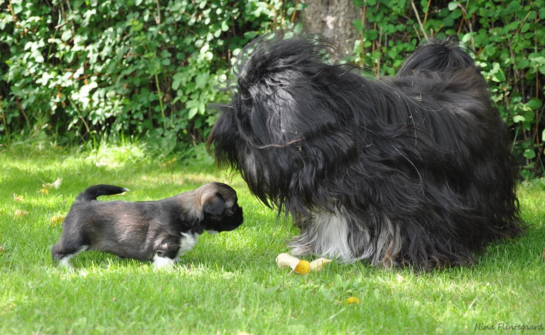 Lhasa apso Kenzo - Se! Den har jeg lavet! Det er en vaskeægte hundehvalp, og jeg elskede dem SÅ højt.. Ikke en beholdte vi; jeg var klar på at beholde dem ALLESAMMEN! billede 12