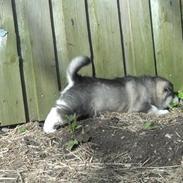 Alaskan malamute Aiko
