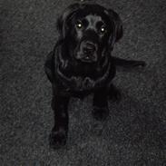 Labrador retriever Uffe