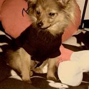 Pomeranian Smiley
