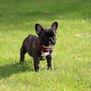 Fransk bulldog Emma
