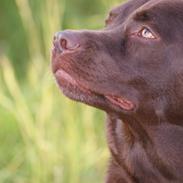 Labrador retriever Bobo (3/8/2009-27/5/2018)