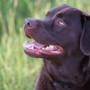 Labrador retriever Bobo (2009-2018)