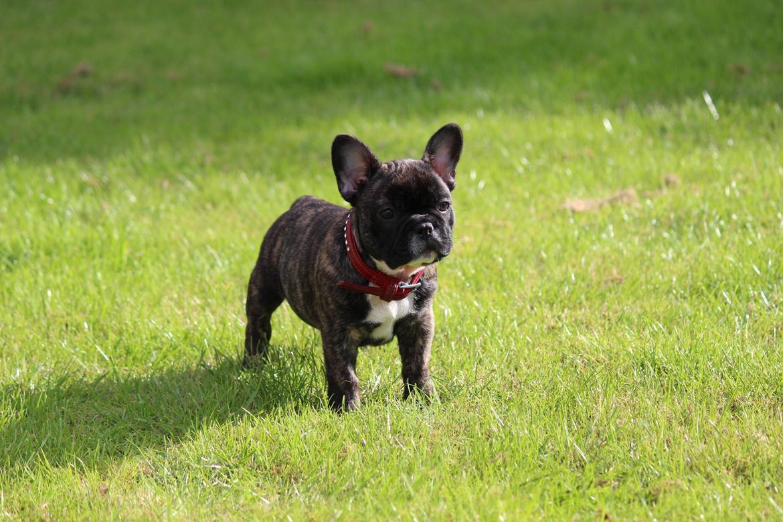 Fransk bulldog Emma billede 2