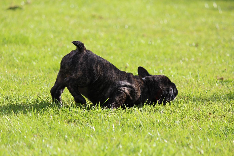 Fransk bulldog Emma billede 5