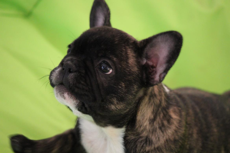 Fransk bulldog Emma billede 9