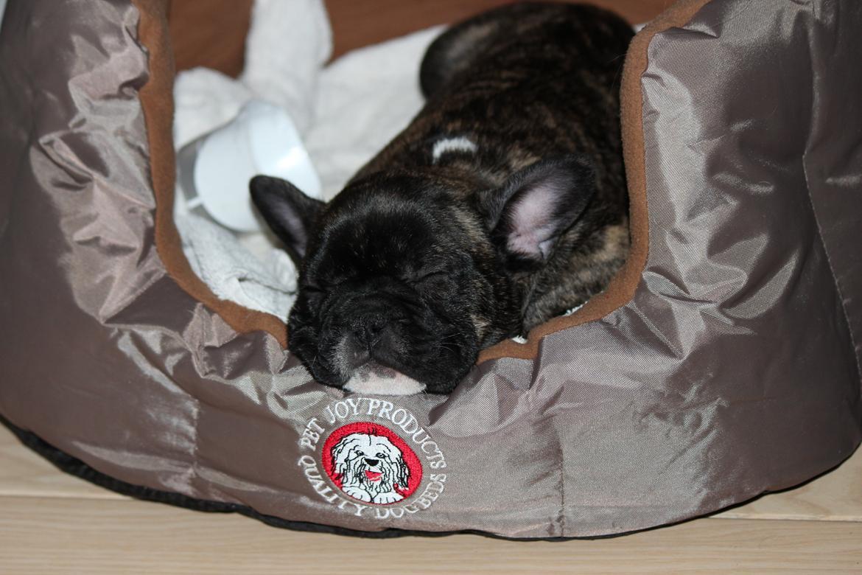 Fransk bulldog Emma billede 10