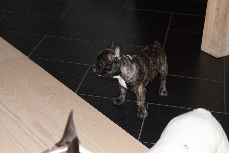 Fransk bulldog Emma billede 13