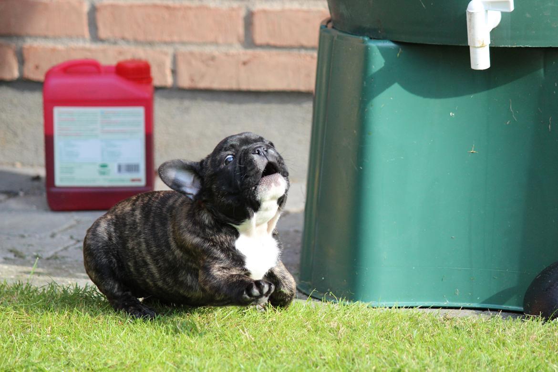 Fransk bulldog Emma billede 14