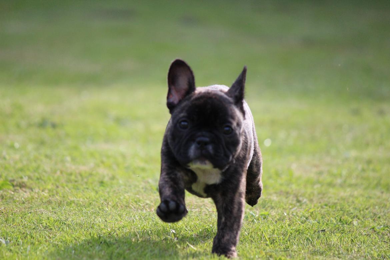Fransk bulldog Emma billede 18