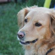 Golden retriever *-stald duk's-* sille<3
