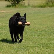 Norsk buhund Anti