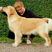 Golden retriever Leongolden a little bit of Heaven