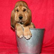 Blodhund Tabby