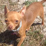 Chihuahua Bambi
