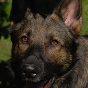Schæferhund Coffey