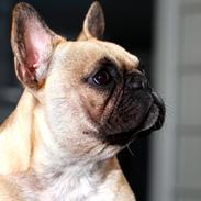 Fransk bulldog Siff