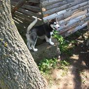 Siberian husky Aslan