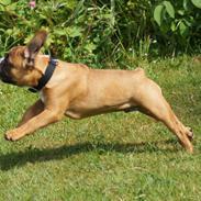 Fransk bulldog milo