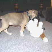 Amerikansk staffordshire terrier Bella