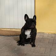 Fransk bulldog gizmo ( Død den 29/07-10)