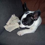 Fransk bulldog Rita