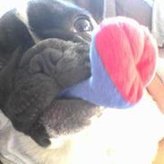 Fransk bulldog bullinium`s emilio/quark