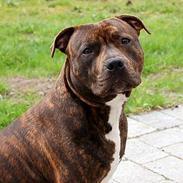 Staffordshire bull terrier  mann2