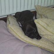 Fransk bulldog Boomer