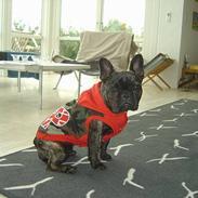 Fransk bulldog Chamarkild's Dothea  <3